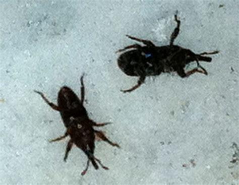 weevil bug grain weevils what s that bug
