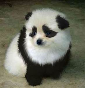 Fluffy Panda Dog | www.pixshark.com - Images Galleries ...