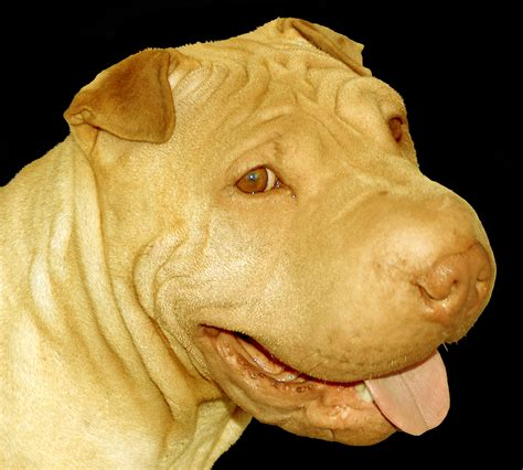 Fawn Dilute Chinese Shar Pei  Ee  Puppy Ee   Dog Aspen Happy