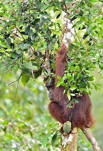 Bornean Orangutan Pongo Pygmaeus On The Tree Under Rain In ...