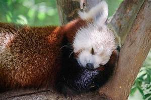 17 Best images about Red Pandas on Pinterest | Foxes, A ...
