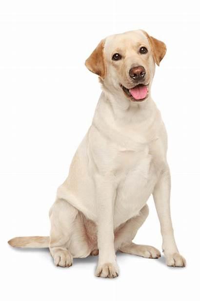 Labrador Retriever Dog Lab Yellow Silhouette Dogs