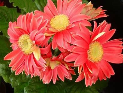 Daisy Wallpapers Flower Desktop Gerbera Daisies Pixelstalk