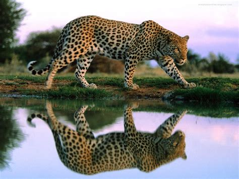 Animal Hd Wallpapers 1600x1200 - animals leopards 1600x1200 wallpaper high quality
