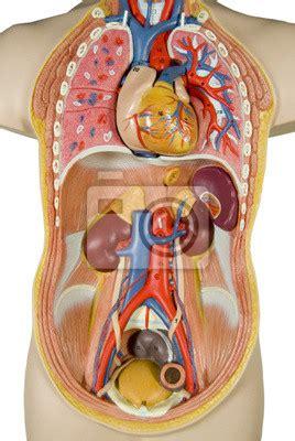Anatomia organelor interne