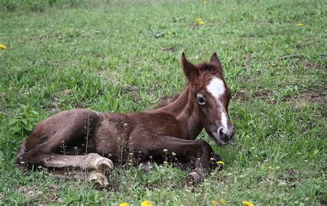 foal warmblood syndrome fragile equimed