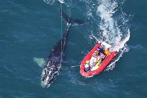 An Unlikely Alliance Forms To Save Whales From Deadly