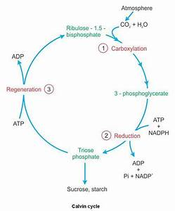 Give A Diagrammatic Representation Of The Calvin Cycle