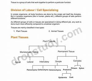 Chapter Notes  Tissues - Class 9 Science