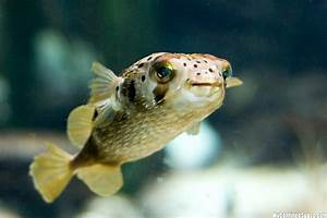 Puffer Fish « MyConfinedSpace