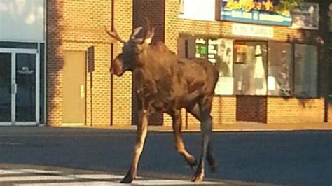 moose killed   britain deemed public safety threat