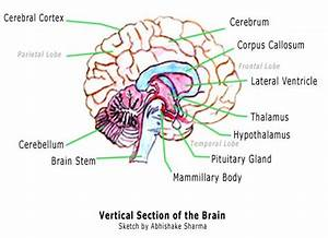 Functions Of The Corpus Callosum You Didn U0026 39 T Know But