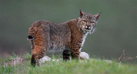 bobcat basic facts  bobcats defenders  wildlife