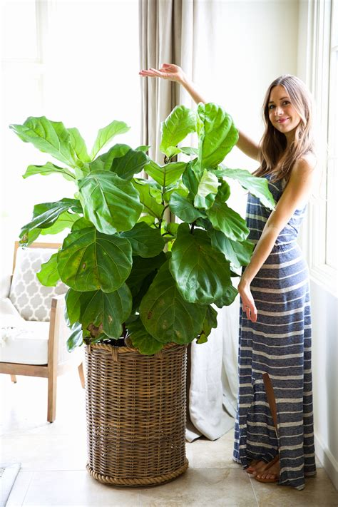 caring for trees how to keep your houseplants green gorgeous camille styles