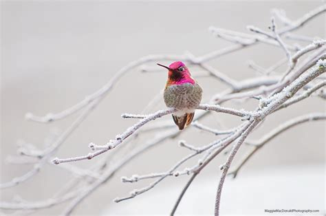 ruby throated hummingbirds wintering northward at a