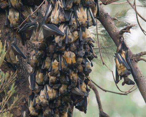 straw coloured fruit bat facts diet habitat pictures