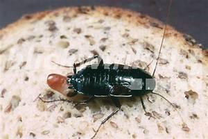 Kakerlaken ähnliche Insekten : blickwinkel gemeine kuechenschabe kuechenschabe ~ Articles-book.com Haus und Dekorationen