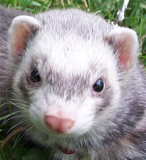 Ferret Wikifur The Furry