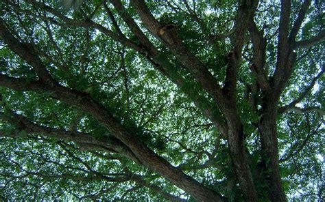 canap tress image gallery tree canopy