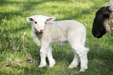 ewe lamb management  january