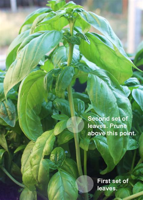 How To Prune Basil And Propagate It The Best Way⎢ugr