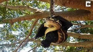 Repulsif Chauve Souris Efficace : cette pauvre chauve souris g ante va passer un mauvais moment avec ce python affam vid o ~ Melissatoandfro.com Idées de Décoration