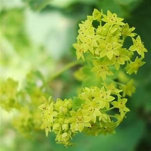 Lady's Mantle Flower Essence