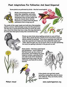 Plant Adaptations For Pollination  U0026 Seed Dispersal