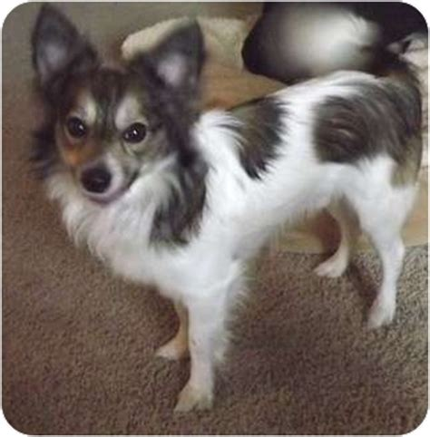 wiley adopted dog palatine il sheltie shetland