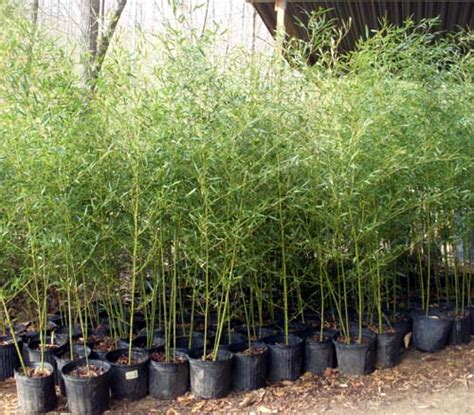 bamboo plants nyc phyllostachys bissetii bamboo plants hq