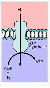 90 Oxidative Phosphorylation And Electron Transport