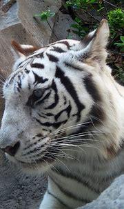 White Tiger | Jungala, Busch Gardens Tampa | meeko_ | Flickr