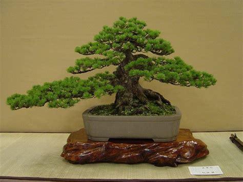 vendita vasi per bonsai pagine verdi bonsai attrezzi e vasi per bonsai vendita