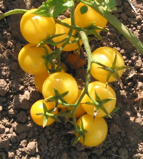 Are your tomatoes in trouble? Cluj Yellow Cherry Heirloom Tomato Seeds