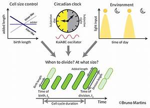 Circadian Clock Imparts Continuous Control Over The Timing