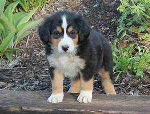 Darling Bernese Mountain Dog Mix | craigspets