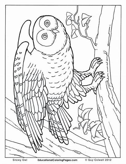 Coloring Pages Animal Owl Realistic Birds Books