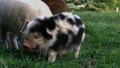 Pigs Super Heart Melt