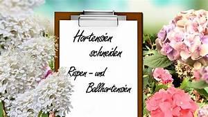Hortensien Schneiden Video : video hortensien richtig schneiden anleitung pflegetipps ~ Lizthompson.info Haus und Dekorationen