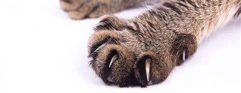 comment eviter les griffes de chat sur canape couper les griffes du chat