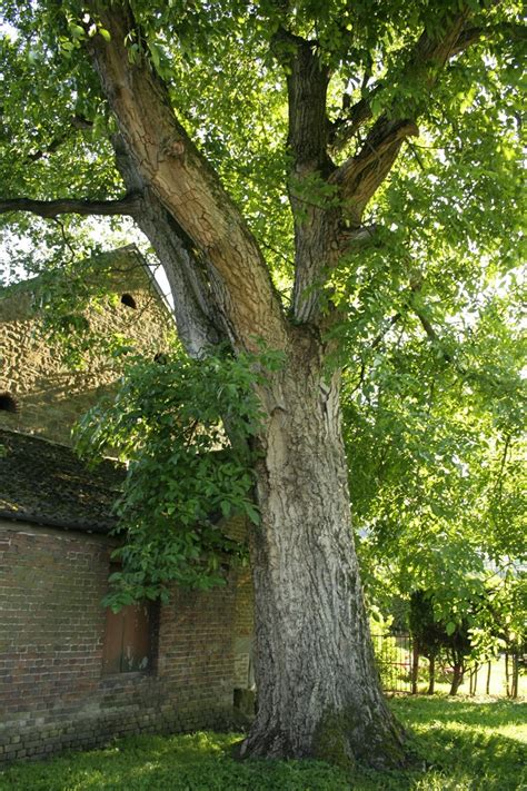 walnut tree walnut new to woodworking