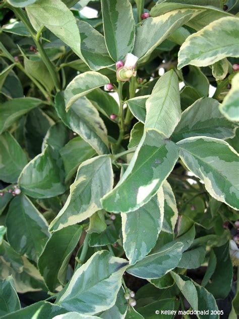 plantfiles pictures lemon variegated pink eureka