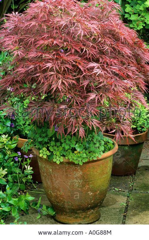 acer palmatum dissectum in ceramic container planter pot bronze stock photo royalty free