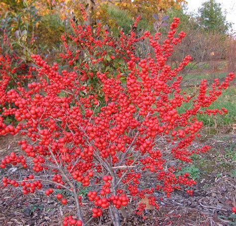 what deciduous tree has berries in winter landscapes nursery hollies