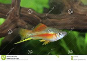 Colorful Male Neon Swordtail Fish In An Aquarium Stock ...