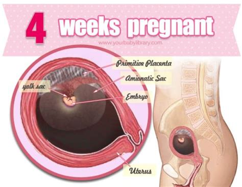 Janin Hamil 4 Bulan Hopefully While 4 Weeks Pregnant You Are In The Know It