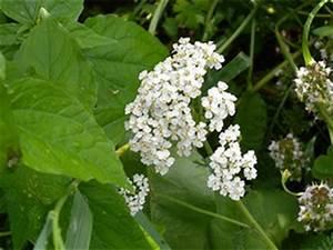Unkraut Weiße Blüte : schafgarbe und ihre wirkung als heilpflanze ~ Lizthompson.info Haus und Dekorationen