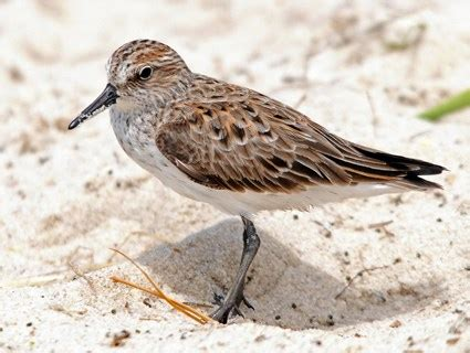 semipalmated sandpiper identification all about birds