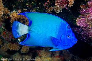 Great New Pictures of BLUE Queen Angelfish from St. Paul's ...