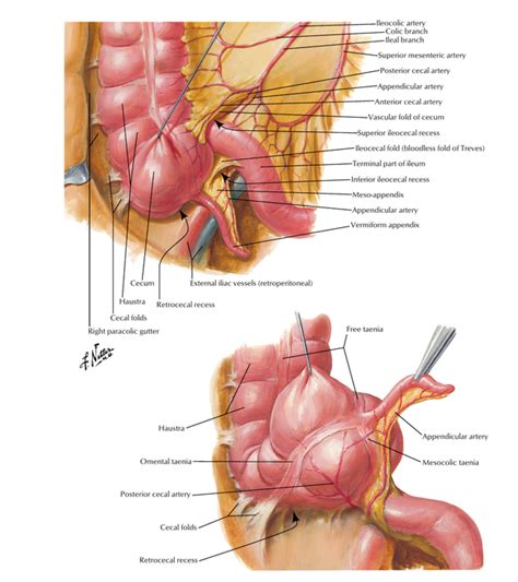 It's the main articulation organ. What organs are on the right side of your back? - Quora